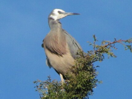 One of the visitors to our garden - a White Faced Heron.